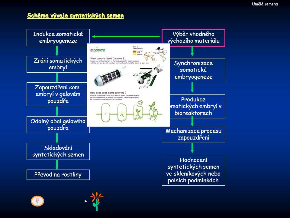Schéma vývoje syntetických semen