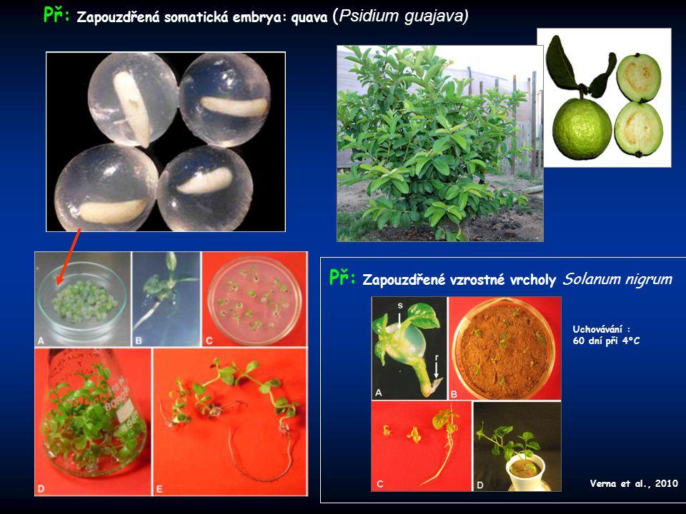 Př: Zapouzdřená somatická embrya: quava (Psidium guajava)