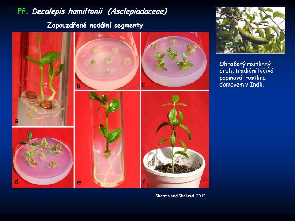 Př. Decalepis hamiltonii (Asclepiadaceae)