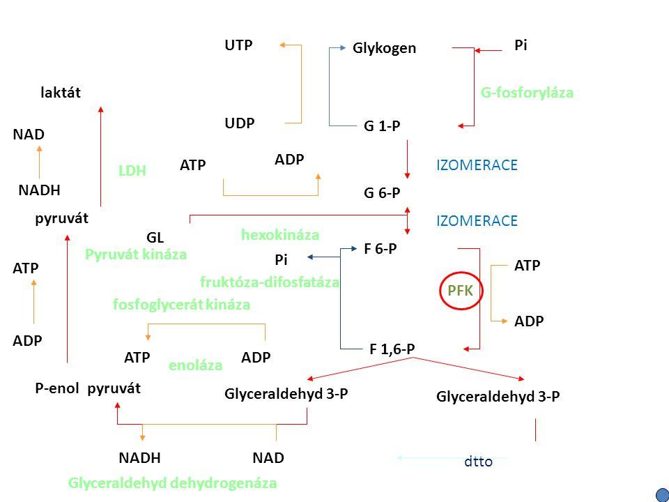 UTP Glykogen. Pi. G-fosforyláza. laktát. UDP. G 1-P. NAD. ADP. ATP. IZOMERACE. LDH. NADH.