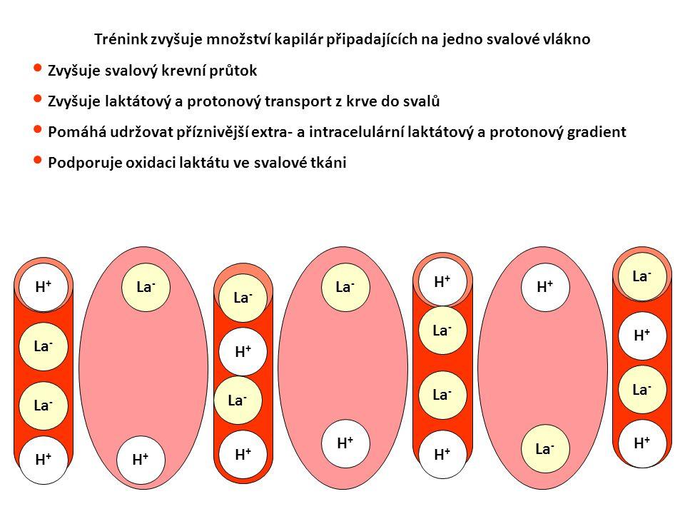 Trénink zvyšuje množství kapilár připadajících na jedno svalové vlákno