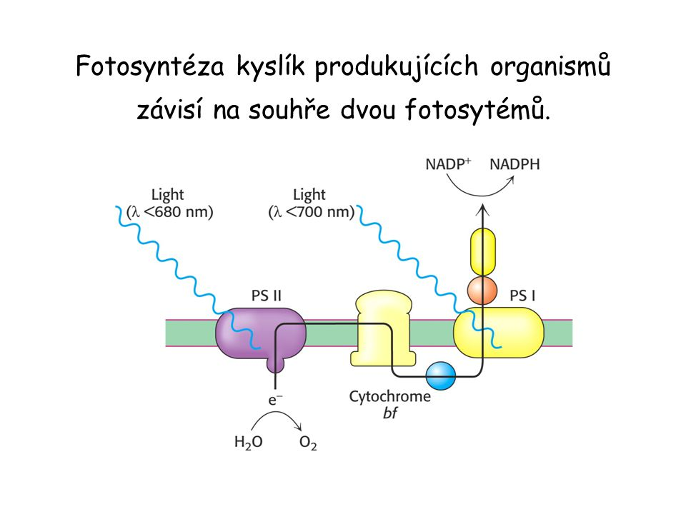 Fotosyntéza kyslík produkujících organismů závisí na souhře dvou fotosytémů.