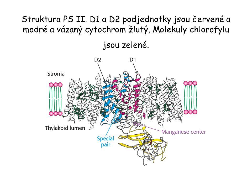 Struktura PS II. D1 a D2 podjednotky jsou červené a modré a vázaný cytochrom žlutý.