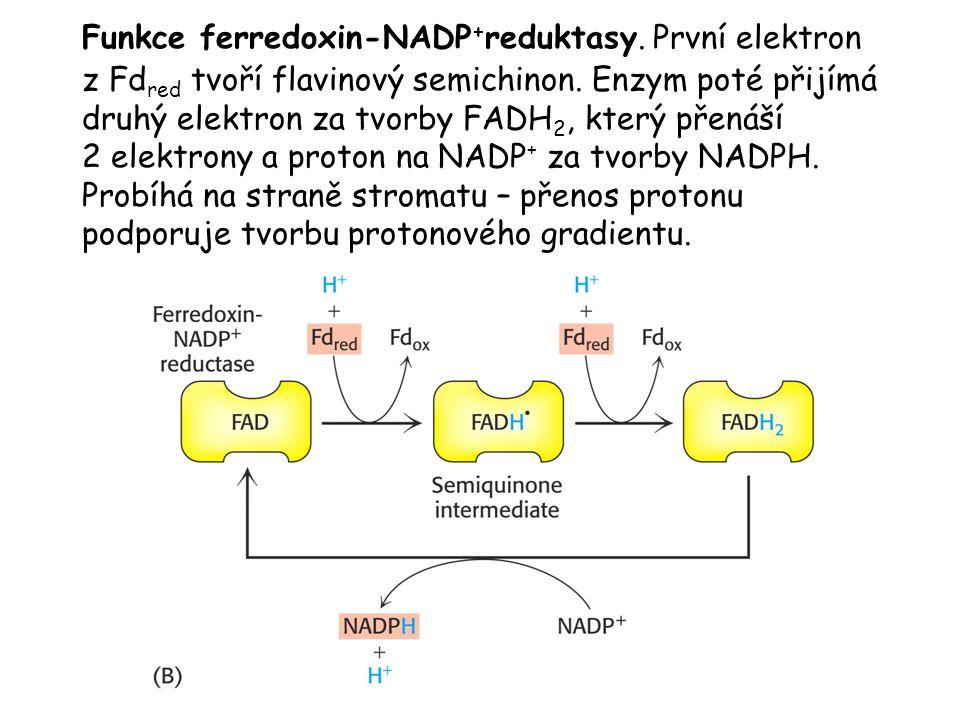 Funkce ferredoxin-NADP+reduktasy