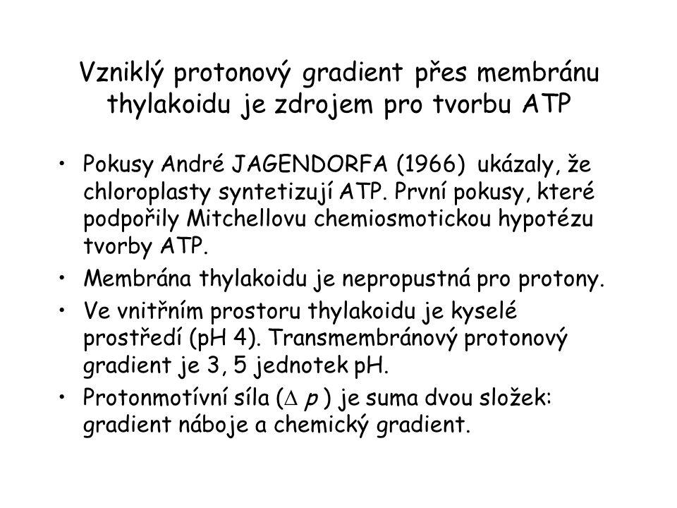 Vzniklý protonový gradient přes membránu thylakoidu je zdrojem pro tvorbu ATP