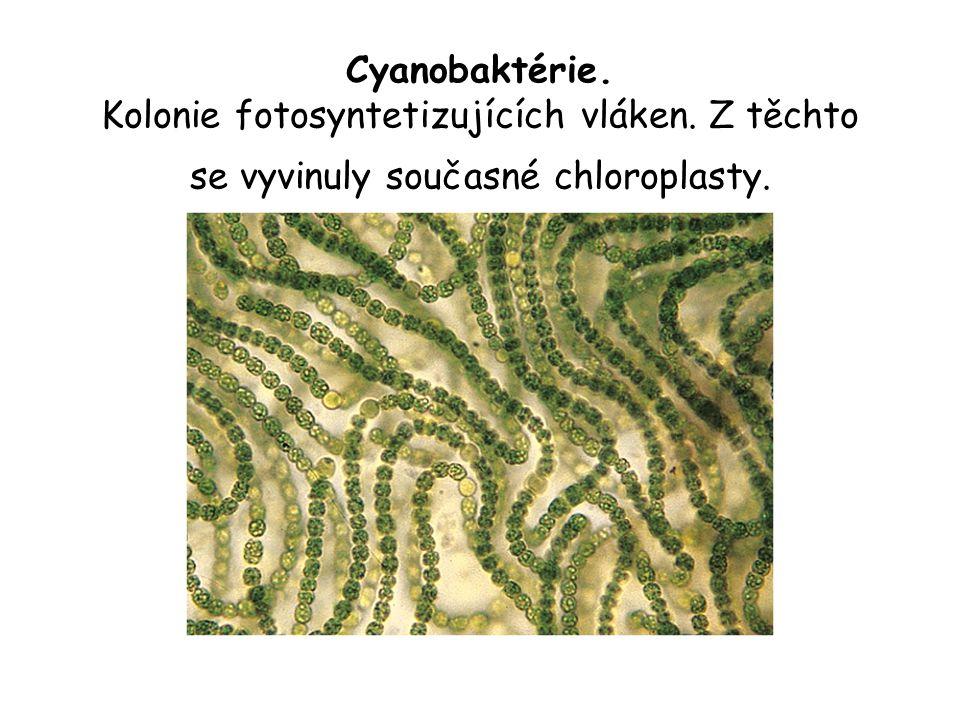 Cyanobaktérie. Kolonie fotosyntetizujících vláken