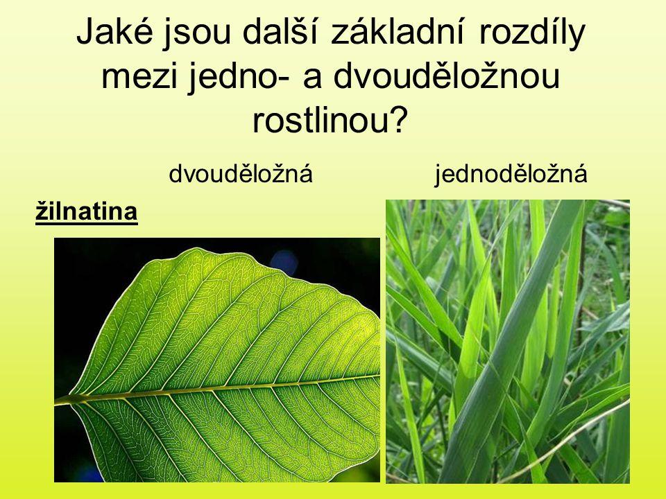 Jaké jsou další základní rozdíly mezi jedno- a dvouděložnou rostlinou