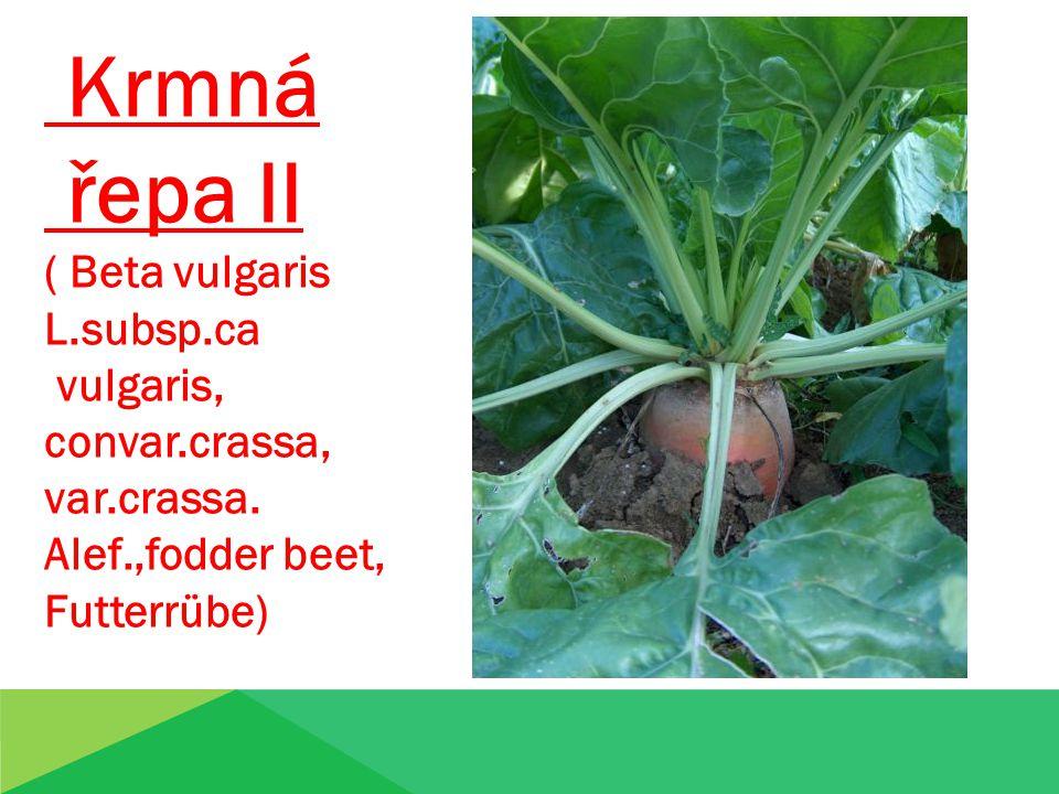 Krmná řepa II ( Beta vulgaris L.subsp.ca vulgaris, convar.crassa,
