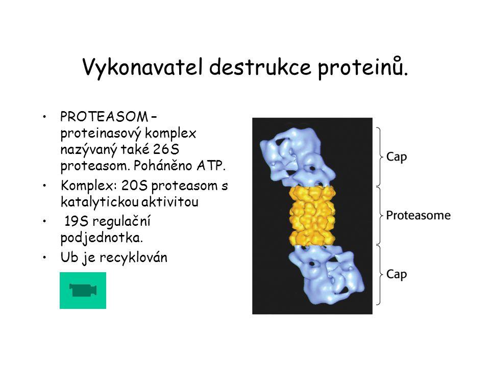 Vykonavatel destrukce proteinů.