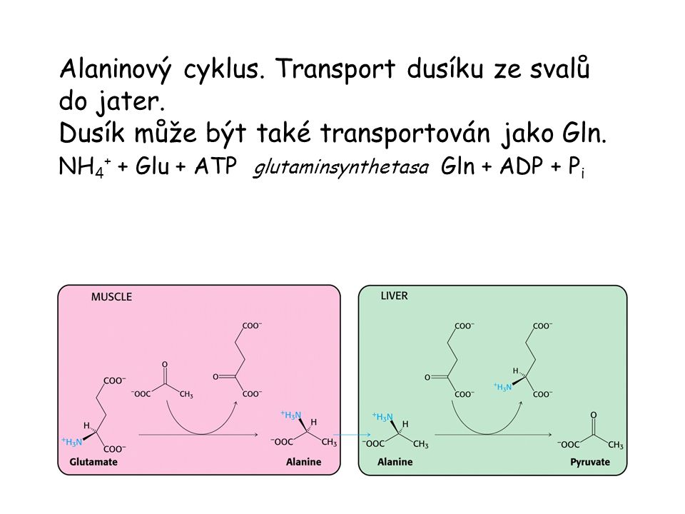Alaninový cyklus. Transport dusíku ze svalů do jater