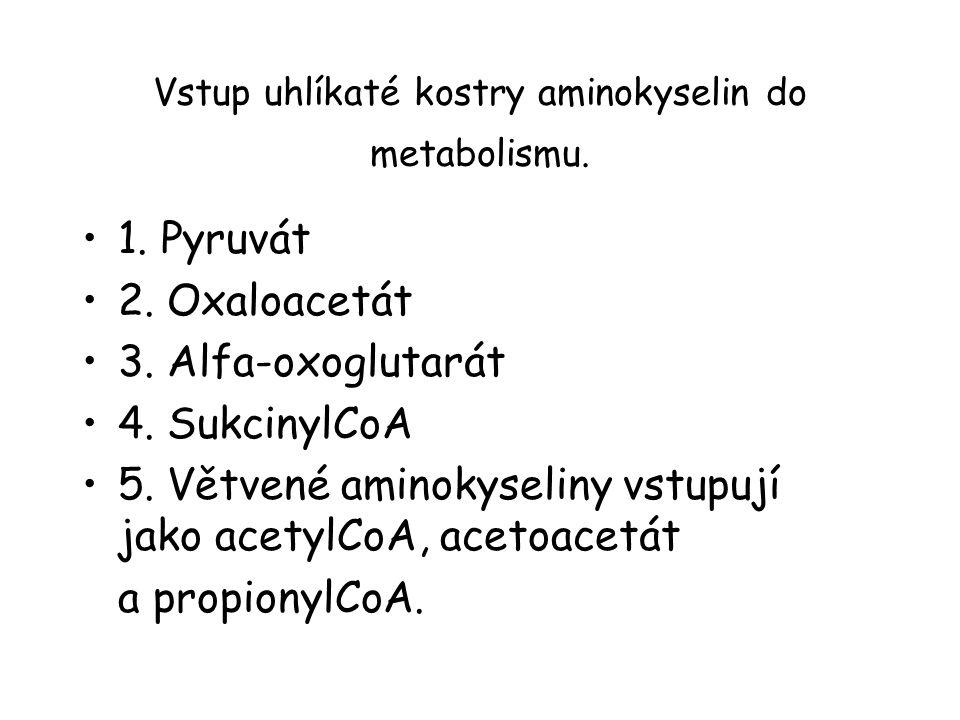 Vstup uhlíkaté kostry aminokyselin do metabolismu.