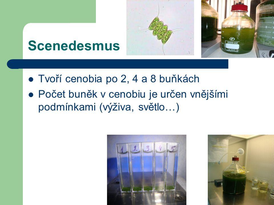 Scenedesmus Tvoří cenobia po 2, 4 a 8 buňkách