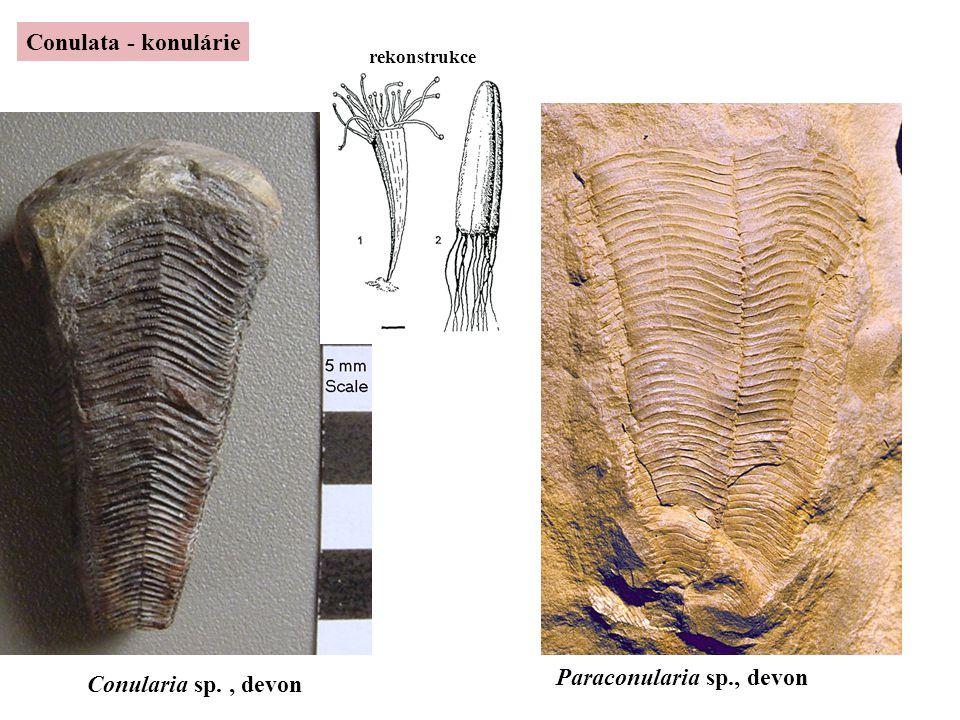 Paraconularia sp., devon Conularia sp. , devon