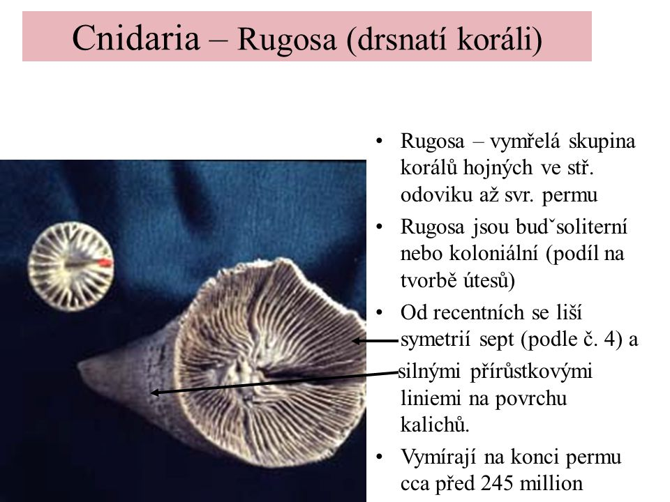 Cnidaria – Rugosa (drsnatí koráli)