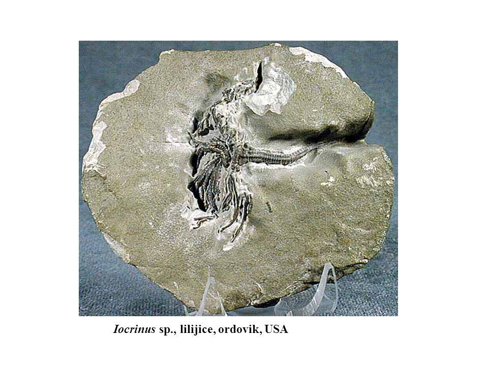 Iocrinus sp., lilijice, ordovik, USA