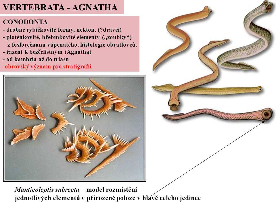 VERTEBRATA - AGNATHA CONODONTA