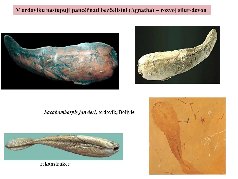 V ordoviku nastupují pancéřnatí bezčelistní (Agnatha) – rozvoj silur-devon