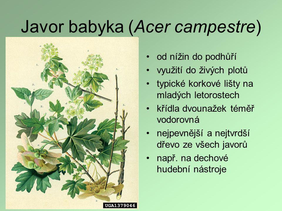 Javor babyka (Acer campestre)