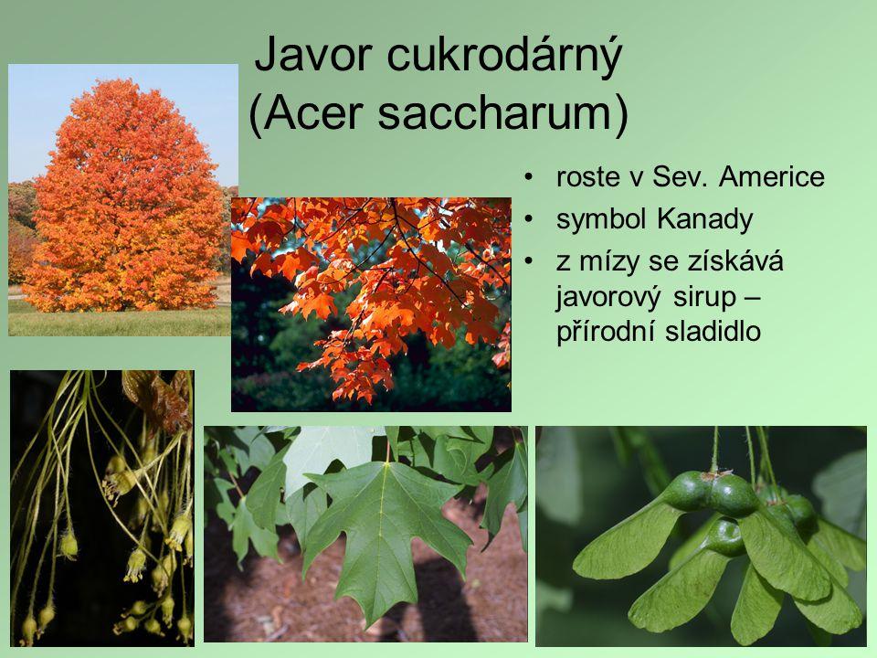 Javor cukrodárný (Acer saccharum)