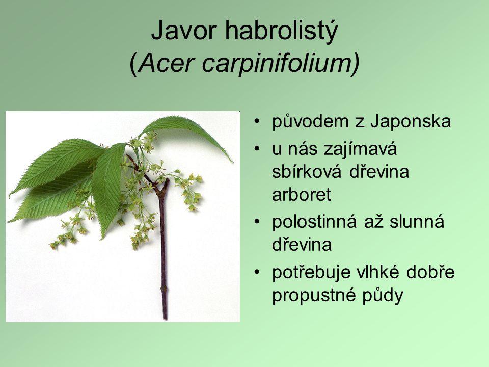 Javor habrolistý (Acer carpinifolium)