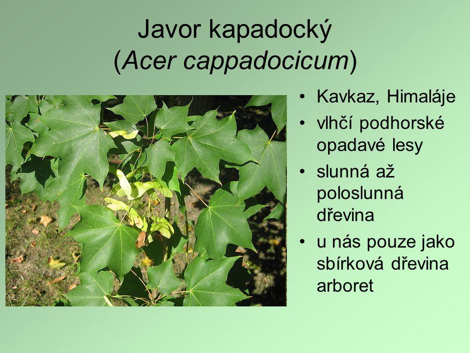 Javor kapadocký (Acer cappadocicum)