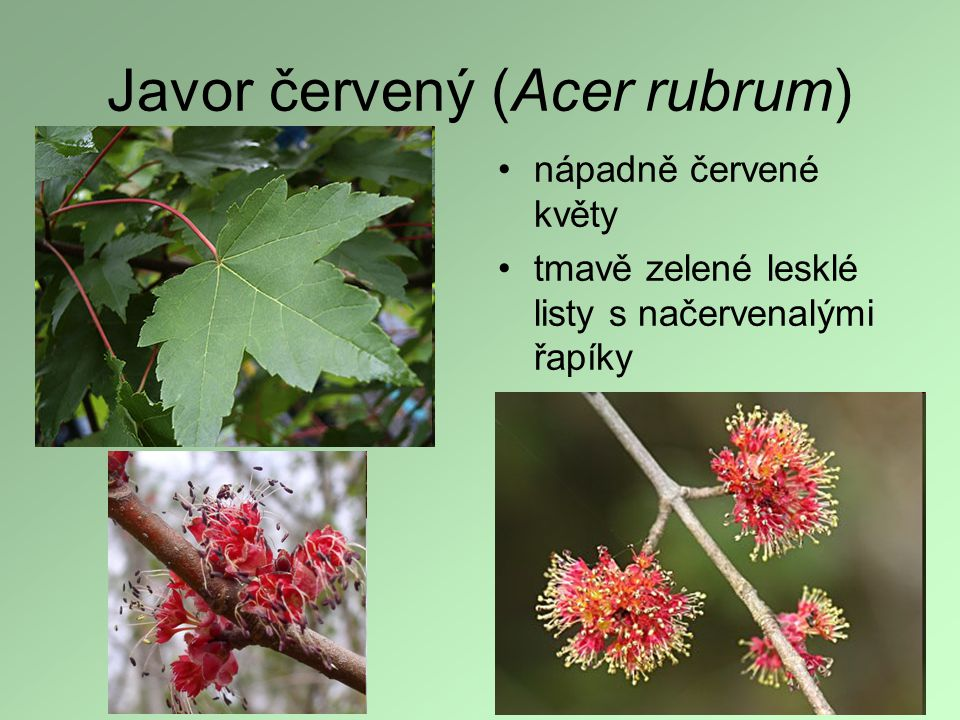Javor červený (Acer rubrum)