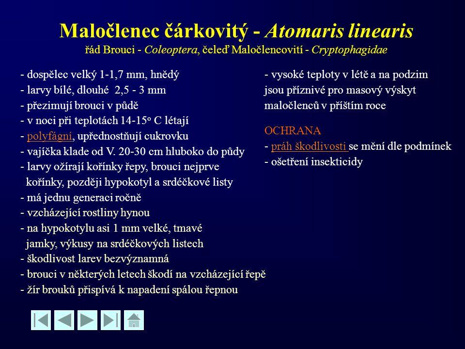 Maločlenec čárkovitý - Atomaris linearis řád Brouci - Coleoptera, čeleď Maločlencovití - Cryptophagidae