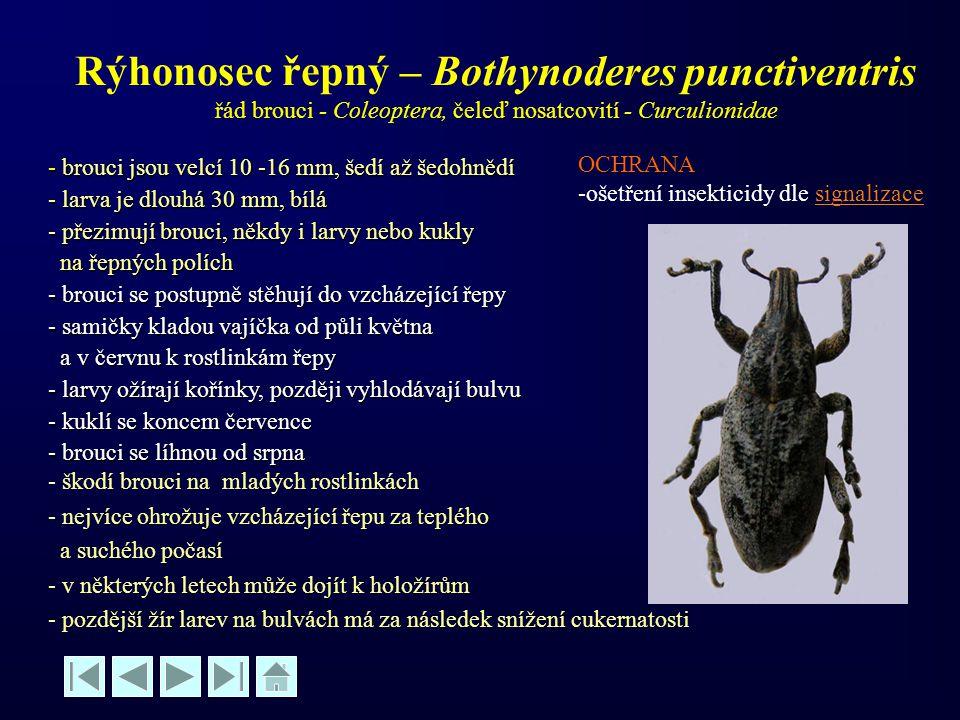 Rýhonosec řepný – Bothynoderes punctiventris řád brouci - Coleoptera, čeleď nosatcovití - Curculionidae