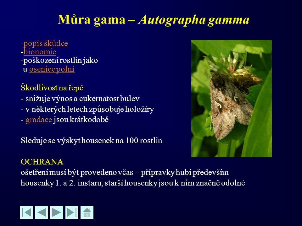 Můra gama – Autographa gamma