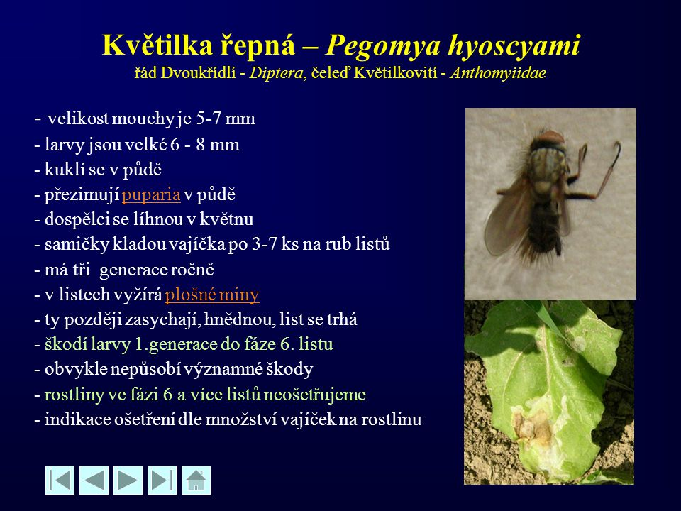 Květilka řepná – Pegomya hyoscyami řád Dvoukřídlí - Diptera, čeleď Květilkovití - Anthomyiidae