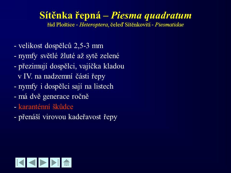 Sítěnka řepná – Piesma quadratum řád Ploštice - Heteroptera, čeleď Sítěnkovití - Piesmatidae
