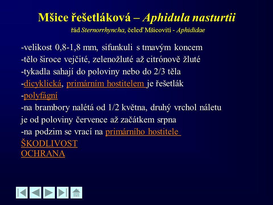 Mšice řešetláková – Aphidula nasturtii řád Sternorrhyncha, čeleď Mšicovití - Aphididae