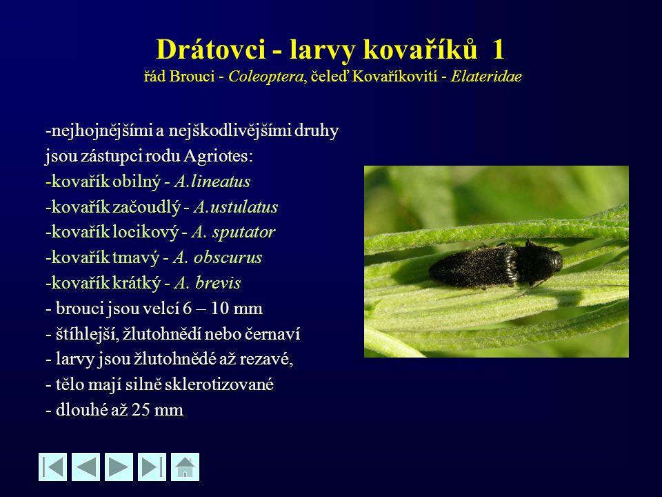 Drátovci - larvy kovaříků 1 řád Brouci - Coleoptera, čeleď Kovaříkovití - Elateridae