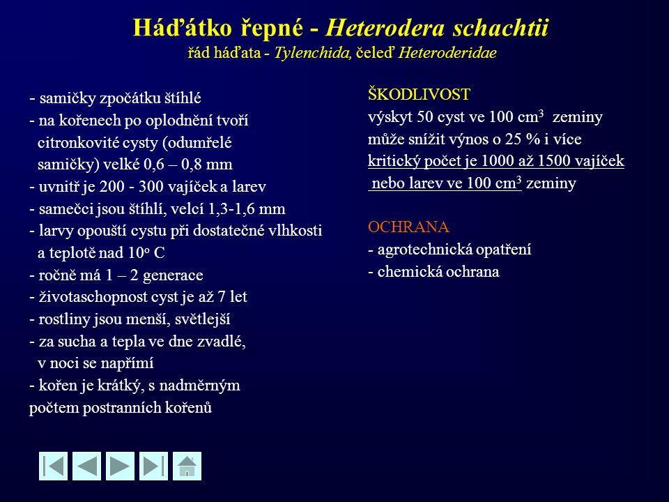 Háďátko řepné - Heterodera schachtii řád háďata - Tylenchida, čeleď Heteroderidae