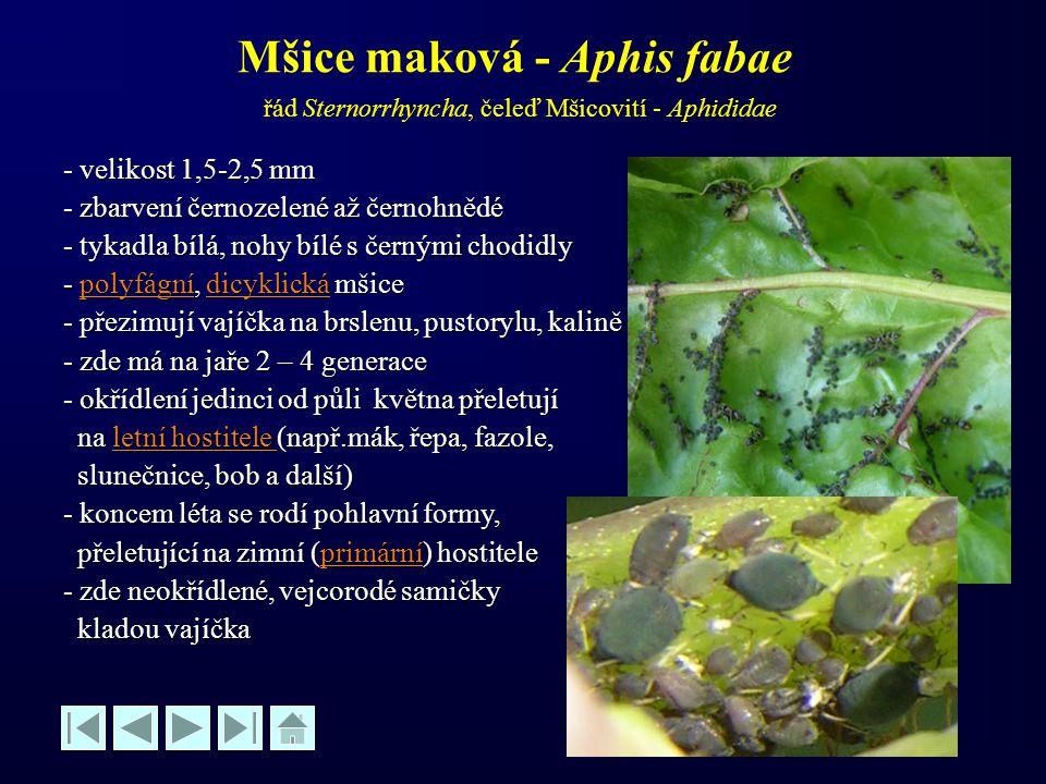 Mšice maková - Aphis fabae řád Sternorrhyncha, čeleď Mšicovití - Aphididae