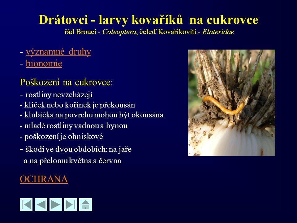 Drátovci - larvy kovaříků na cukrovce řád Brouci - Coleoptera, čeleď Kovaříkovití - Elateridae