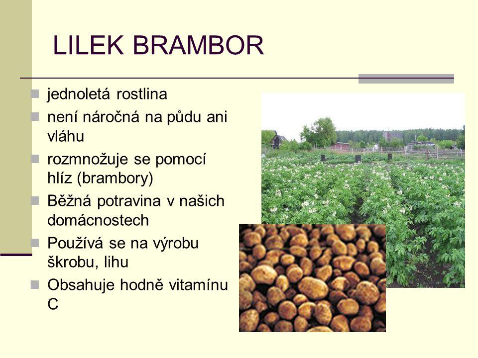 LILEK BRAMBOR jednoletá rostlina není náročná na půdu ani vláhu