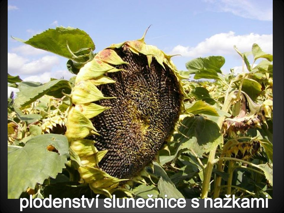 plodenství slunečnice s nažkami