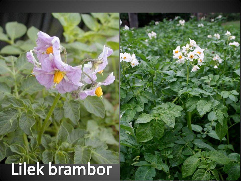 Lilek brambor