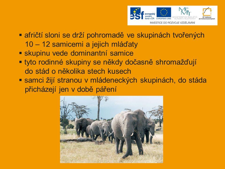 afričtí sloni se drží pohromadě ve skupinách tvořených
