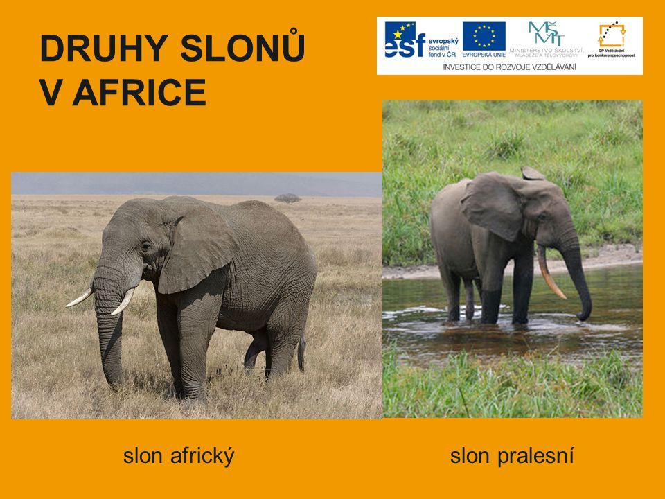 DRUHY SLONŮ V AFRICE slon africký slon pralesní