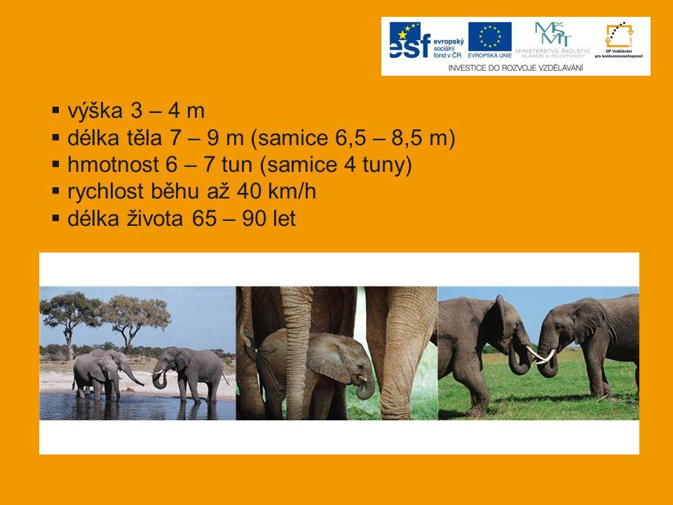 výška 3 – 4 m délka těla 7 – 9 m (samice 6,5 – 8,5 m) hmotnost 6 – 7 tun (samice 4 tuny) rychlost běhu až 40 km/h.