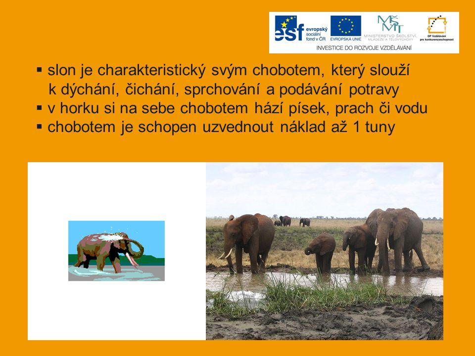slon je charakteristický svým chobotem, který slouží