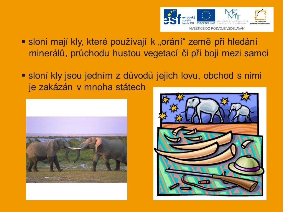 """sloni mají kly, které používají k """"orání země při hledání"""