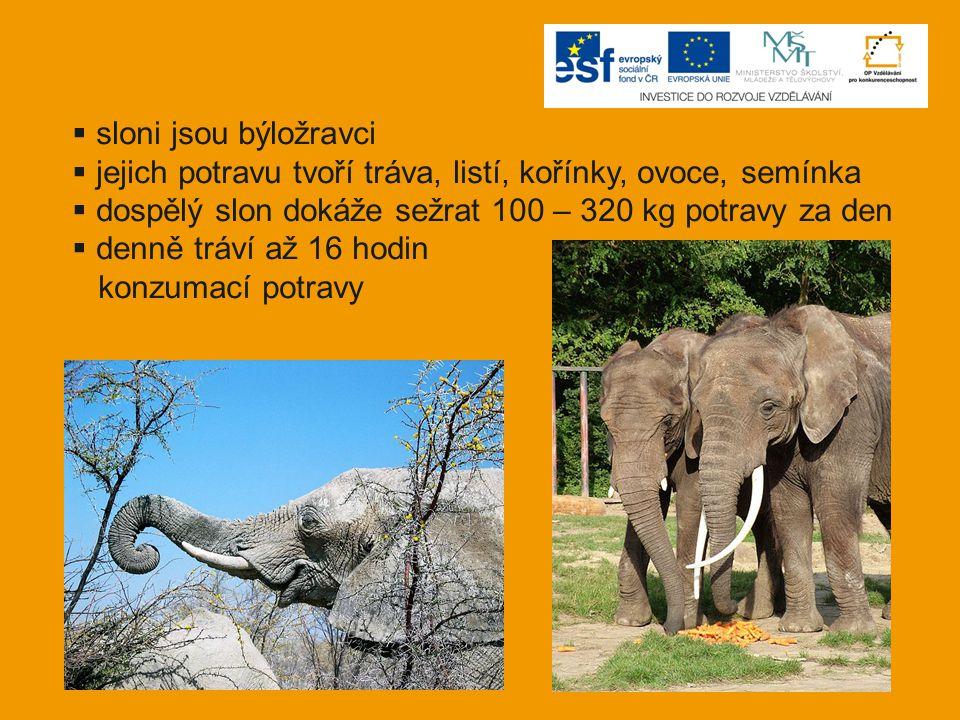 sloni jsou býložravci jejich potravu tvoří tráva, listí, kořínky, ovoce, semínka. dospělý slon dokáže sežrat 100 – 320 kg potravy za den.