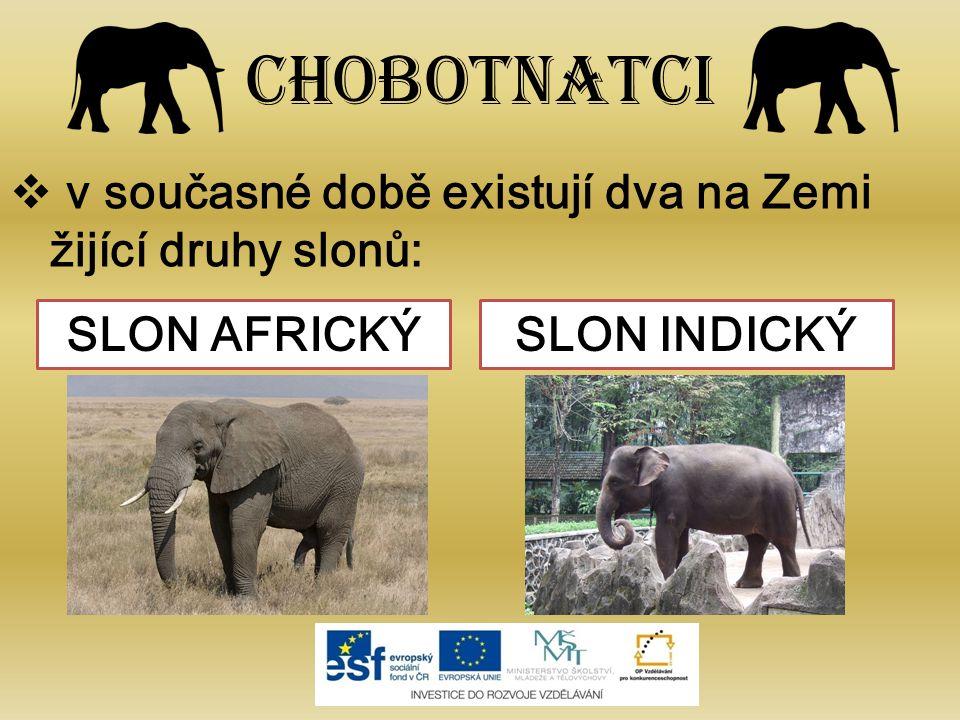 Chobotnatci v současné době existují dva na Zemi žijící druhy slonů: