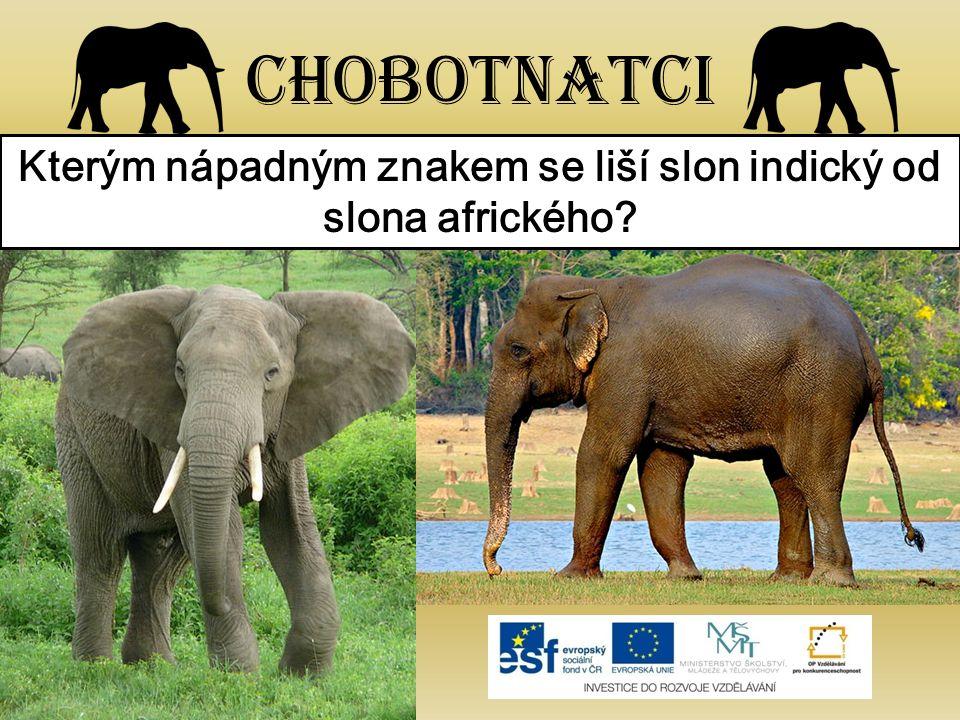 Kterým nápadným znakem se liší slon indický od slona afrického