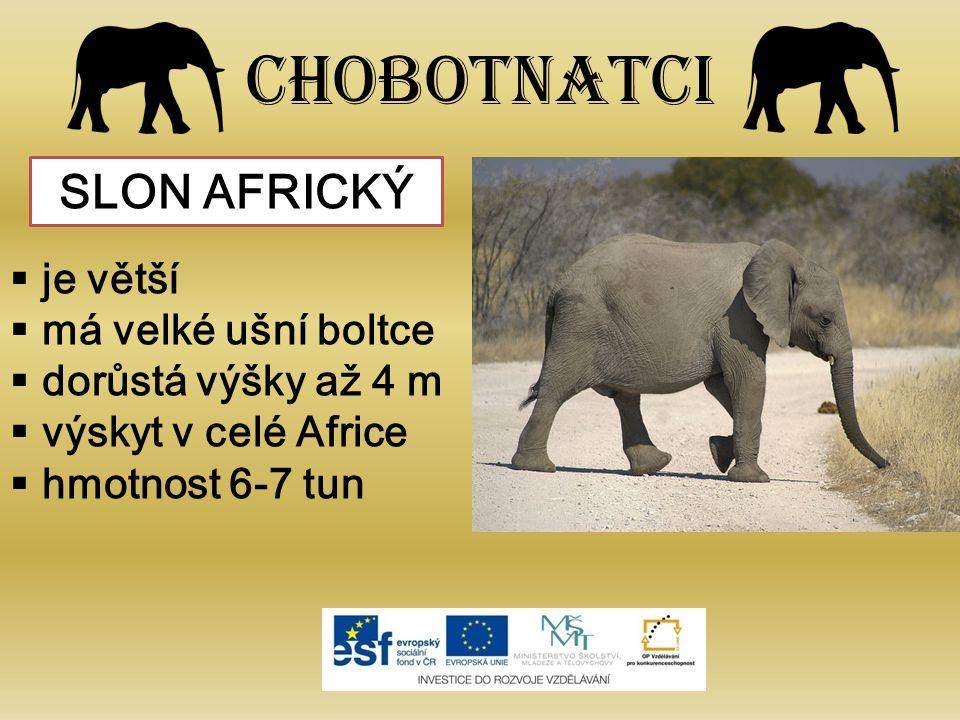 Chobotnatci SLON AFRICKÝ je větší má velké ušní boltce