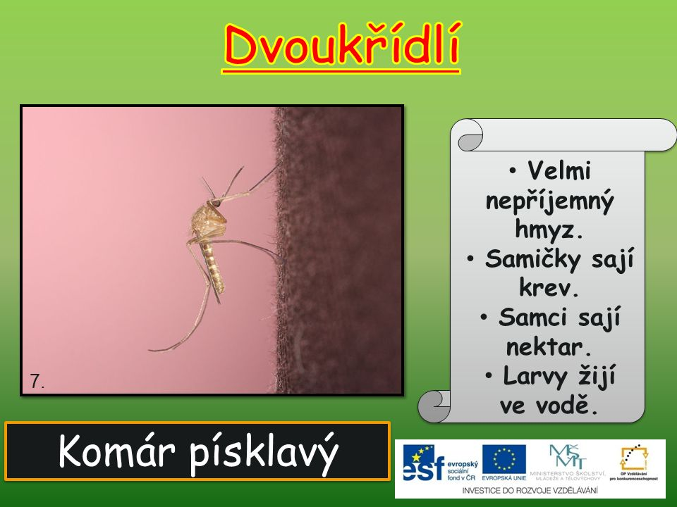 Dvoukřídlí Komár písklavý Velmi nepříjemný hmyz. Samičky sají krev.
