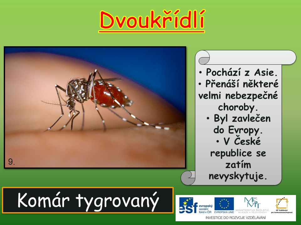 Dvoukřídlí Komár tygrovaný Pochází z Asie.